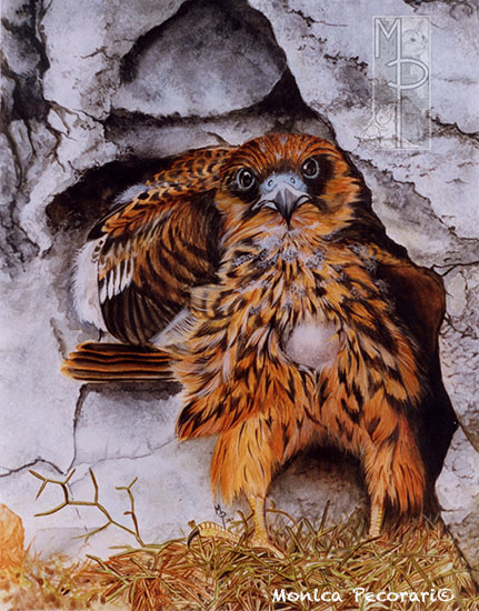 Puòcino di falco della regina, falco eleonorae