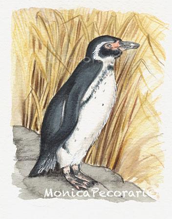 Pinguino delle Galapagos
